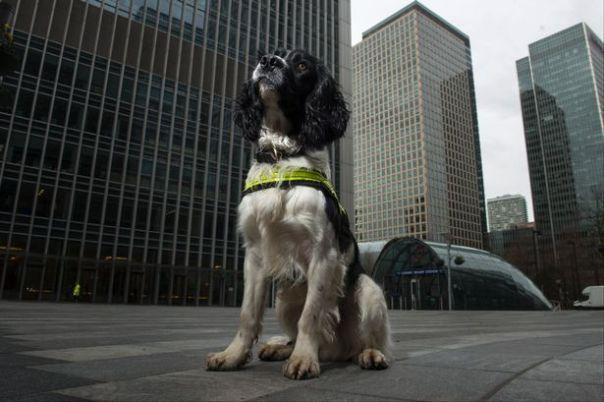 sniffer dogs detecting drugs